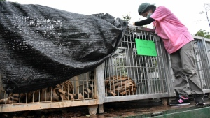 Cages are prepared for the removal of tigers at the 'Tiger Temple' in Saiyok district in Kanchanaburi province, west of Bangkok, Thailand on Monday, May 30, 2016. (Wildlife Friends Foundation Thailand)