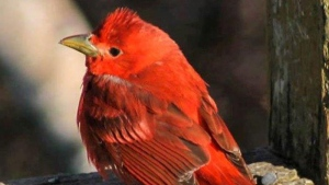 Ruthie Crowell- Smith captured this image of a summer tanager in Bear Point N.S.
