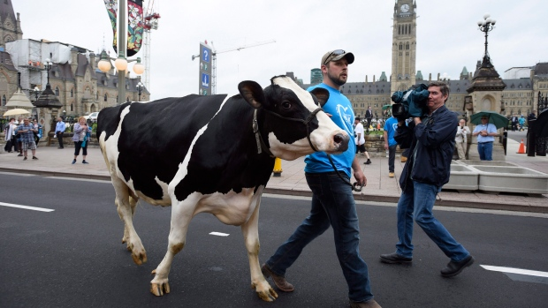 Chris Ryan walks dairy cow Ninja on Wellington Street as dairy farmers protest on Parliament Hill on Thursday, June 2, 2016 in Ottawa. (Justin Tang/THE CANADIAN PRESS)