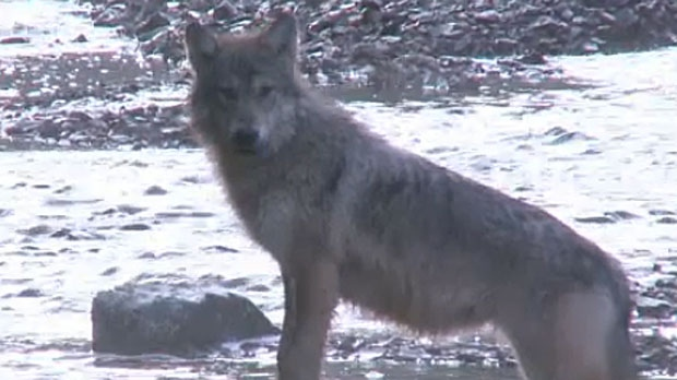 Parks Canada issued a rare wolf warning after a pair of wolves aggressively approached some campers in Banff on Jun. 3.