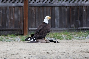 Some are calling it the latest symbolic battle between Canada and the United States – but it didn't take place on the ice. Lisa Bell, an amateur photographer from Bowser, B.C. snapped a series of once-in-a-lifetime photos when she caught a bald eagle terrorizing a Canada goose. June 5, 2016. (Courtesy Lisa Bell)