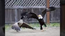 eagle vs goose b.c.