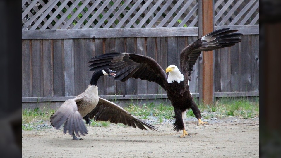 Lisa Bell, an amateur photographer from Bowser, B.C. snapped a series of once-in-a-lifetime photos when she caught a bald eagle terrorizing a Canada goose. June 5, 2016. (Courtesy Lisa Bell)
