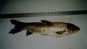 Holy Carp! Invasive fish species found in St. Lawrence