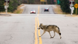 A wolf is seen near the Town of Banff in this file photo. Parks Canada staff have put down two wolves recently due to their bold behaviour. (File photo)