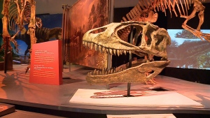 A dinosaur skull on display at the Canadian Museum of Nature in Ottawa, June 10, 2016