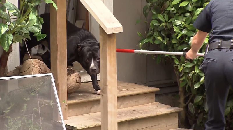 Three pit bulls and one smaller dog were seized after several women were attacked at a Surrey home on June 10, 2016. (CTV)