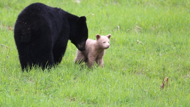 Biologists try to confirm genetics of cream-coloured bear