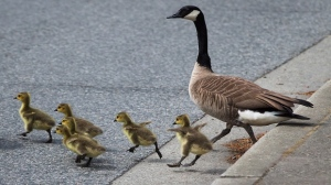 This file photo shows Canada geese goslings leap off a curb while crossing a road in May 2016. (THE CANADIAN PRESS/Darryl Dyck)