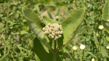 The common milkweed.