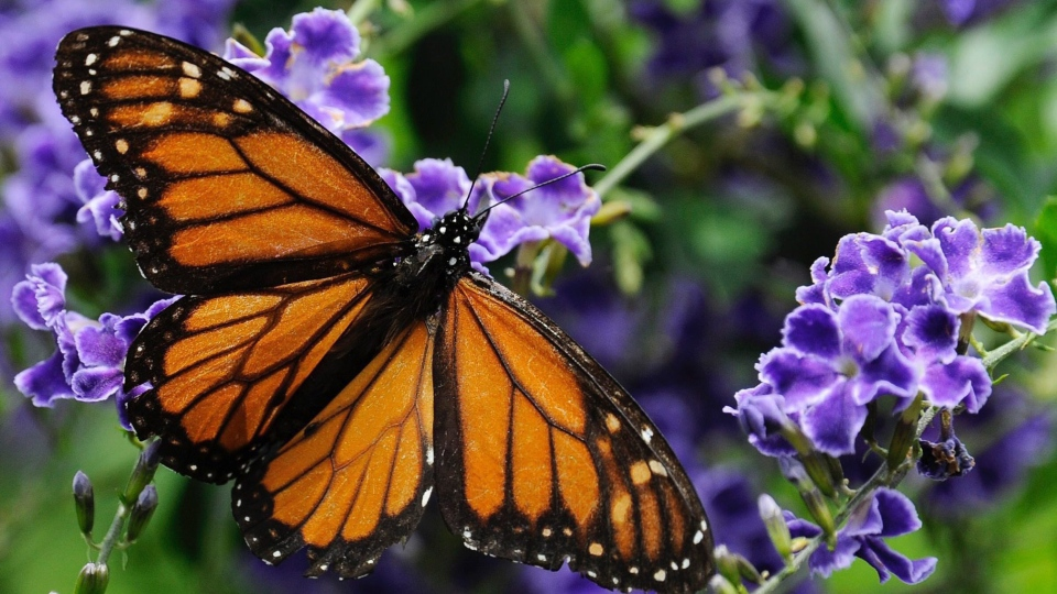 In this April 26, 2015 file photo, a monarch butterfly feeds on a duranta flower in Houston. (Pat Sullivan/AP Photo)
