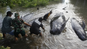 Rescuers pull dead whales ashore in Probolinggo, East Java, Indonesia  during a mass rescue operation of stranded whales on Thursday, June 16, 2016. (AP / Trisnadi)