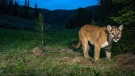 This undated photo provided by the Teton Cougar Project-Panthera shows a wildlife camera capturing an image of a cougar in northwest Wyoming. (Teton Cougar Project-Panthera / Neil Wight)