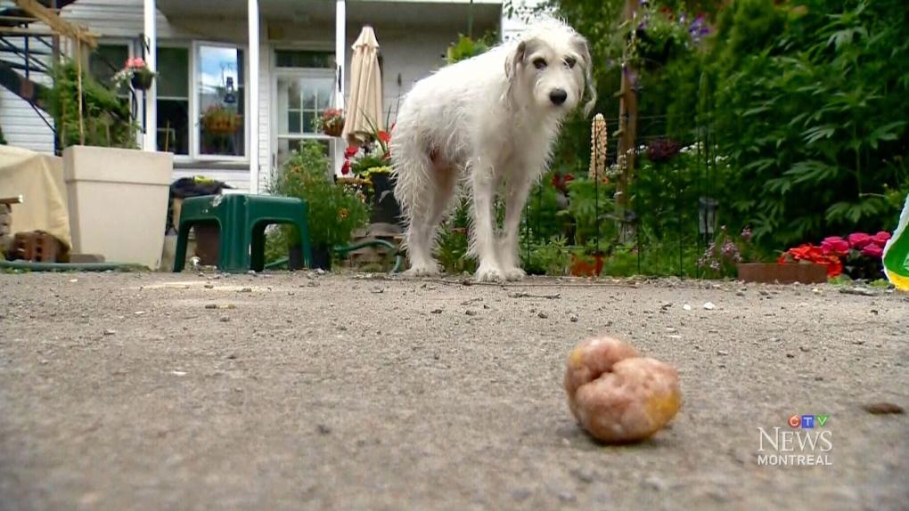 CTV Montreal: Dog ate knife blade   CTV News Windsor