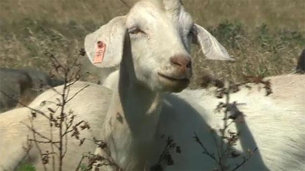 goats, calgary goats