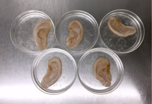 Canadian biophysicist Andrew Pelling has biohacked apples to grow ears and create open source biomaterial. (Andrew Pelling/Twitter)