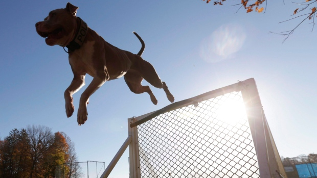 in this file photo a pit bull clears a hurdle on an obstacle course at k9 school in stone ridge ny wednesday nov4