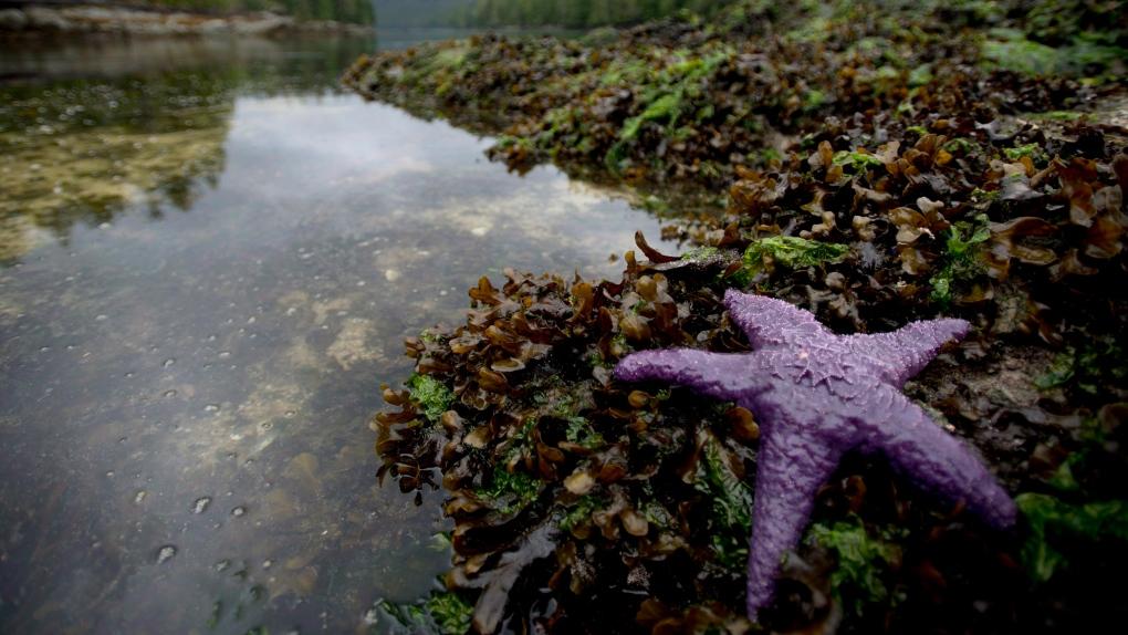 sea star B.C.