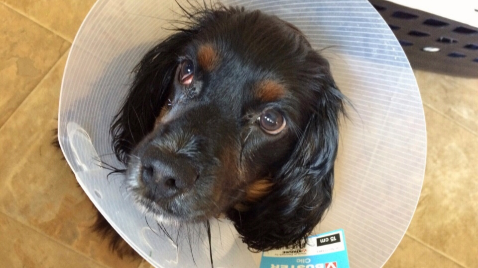 cocker spaniel post cherry eye surgery