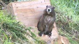 Vancouver Island marmots released into the wild