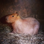 A capybara is seen in this photo tweeted by Toronto's Parks, Forestry and Recreation department.