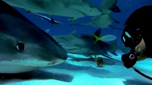 CTV News Channel: Bonding with sharks