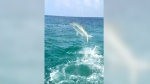 Aquatic battle: Shark vs. tarpon near fisherman's