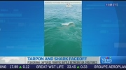 CTV News Channel: Tarpon and shark faceoff