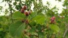 Mortlach berry festival