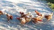 Wild chicken chase after birds dumped near Nanaimo