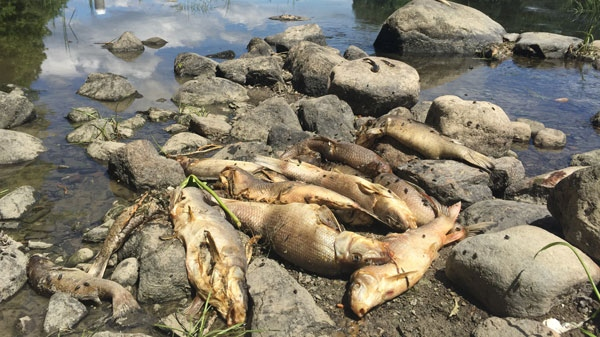 Dead fish are seen decomposing on a rock in the Yamaska River.