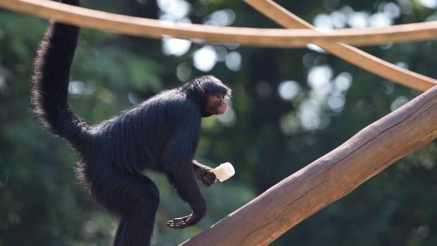 Jaguar escapes enclosure, attacks monkey at Texas zoo