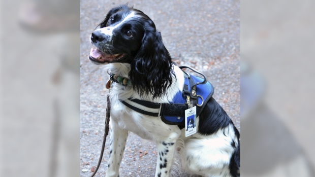 C. difficile-sniffing dog 'Angus' is ready for his hospital job