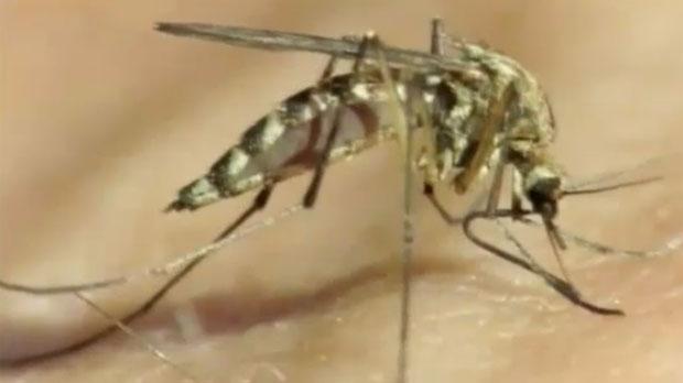 Lethbridge - mosquito