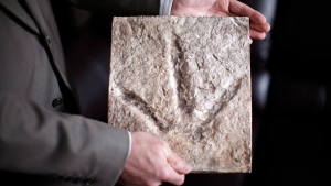 FILE - A plaster setting from one the first footprints made by a Theropod which was found near Tumbler Ridge, B.C., is held up in Victoria, B.C., on Thursday, April 23, 2015. (THE CANADIAN PRESS/Chad Hipolito)