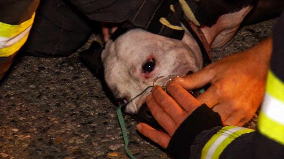 Fire crews saved an unconscious dog from a burning home in Abbotsford on July 12, 2016. (CTV)