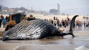 A bulldozer pushes a dead humpback whale that washed ashore at Dockweiler Beach into the ocean along the Los Angeles coast on Friday, July 1, 2016. (AP / Nick Ut)