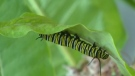 A monarch caterpillar is shown in this file image.