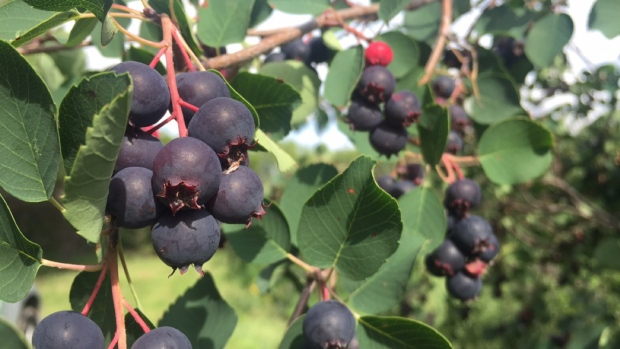 Minnesota Birds Are Getting 'Drunk' On Fermented Berries, Police Say