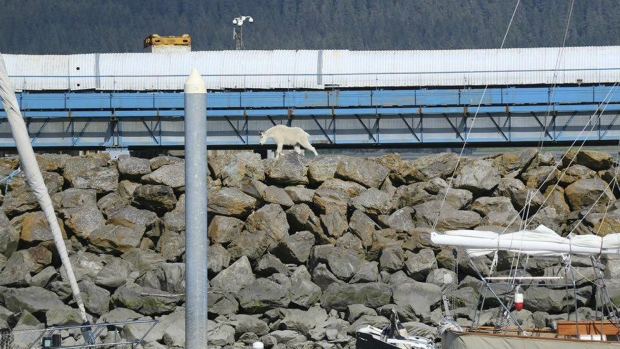 Alaskan Mountain Goat Dies Fleeing People Who Wanted to Take Its Picture
