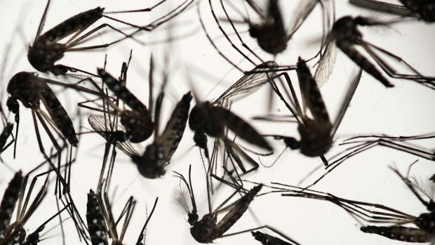 In this Jan. 27, 2016, file photo, samples of Aedes aegypti mosquitoes, responsible for transmitting dengue and Zika, sit in a petri dish at the Fiocruz Institute in Recife, Pernambuco state, Brazil. (Felipe Dana, File/AP Photo)