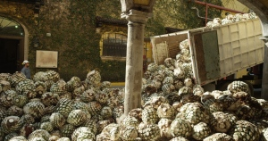 Agave byproducts may be used to produce plastics for Ford motor vehicles. (Relaxnews)