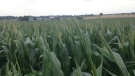 Corn crops grow at a farm north of Waterloo, Ont., on Thursday, July 21, 2016. (Marc Venema / CTV Kitchener)