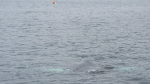 A humpback whale is shown in the waters off the coast of Newfoundland and Labrador in this recent handout photo. (THE CANADIAN PRESS/HO - Jeannine Winkle)