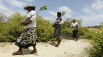 Sri Lankan mangrove conservation workers carry mangrove saplings for planting in Kalpitiya, about 130 kilometres north of Colombo, Sri Lanka on July 18, 2016. (AP / Eranga Jayawardena)