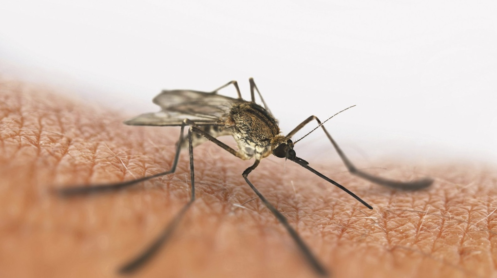 A mosquito lands on exposed skin. (Ales Utovko / istockphoto.com)