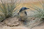 "In this July 25, 2016 photo provided by the Wildlife Conservation Society, a ""little penguin"" chick is shown in its habitat at the Bronx Zoo in New York. (Julie Larsen Maher/Wildlife Conservation Society via AP)"