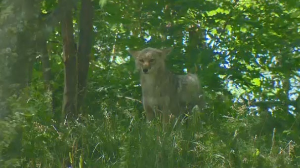This coyote was spotted in Kirkland, on the island of Montreal, in 2016. Since then the number of coyote spottings on the island has grown to several hundred each year.