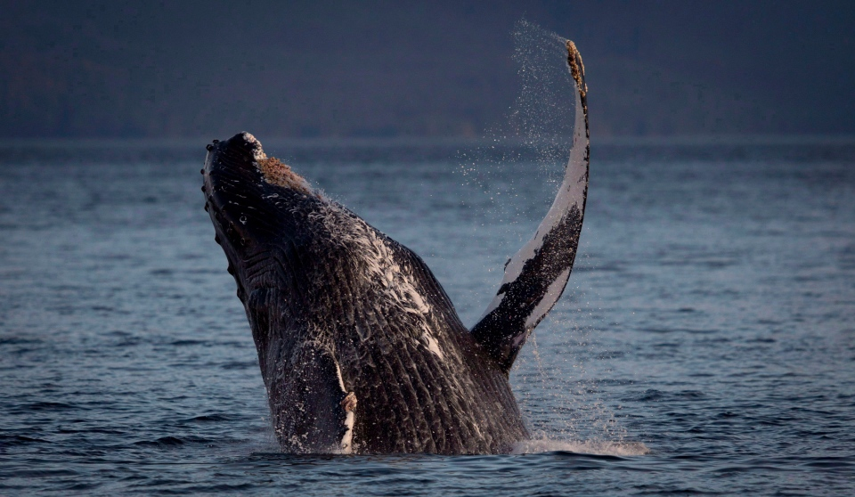 FILE PHOTO: A humpback whale breaks through the water outside of Hartley Bay along the Great Bear Rainforest, B.C. Sept, 17, 2013. THE CANADIAN PRESS/Jonathan Hayward