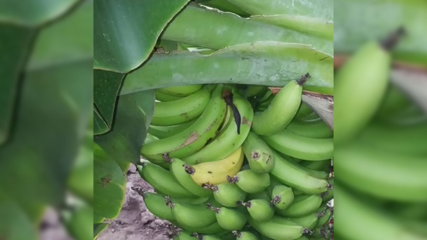 "CTV News Channel  Growing bananas in Ontario. "" a200500214f"